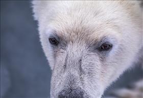 Borton isbjörnens rike
